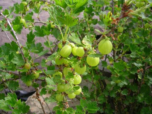 Ribes monteigenum
